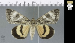 Catocala semirelicta image