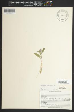 Strigosella africana image