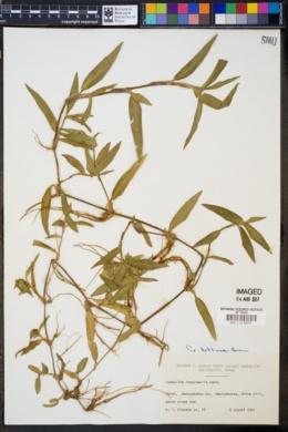 Image of Commelina longicaulis