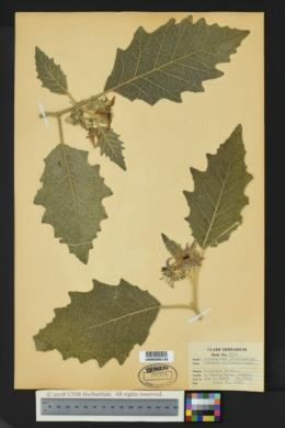 Image of Solanum mitlense