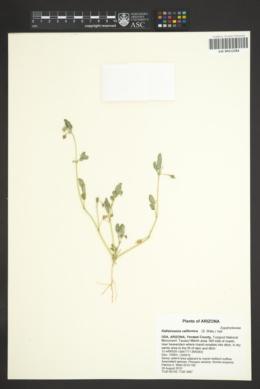 Kallstroemia californica image