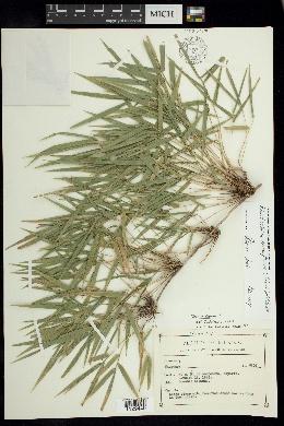 Image of Rhipidocladum racemiflorum