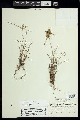 Cyperus spectabilis image