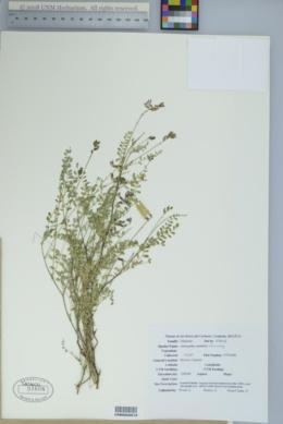 Image of Astragalus carminis