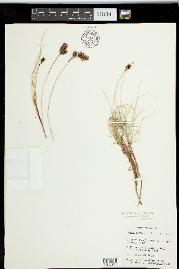 Image of Carex sabulosa