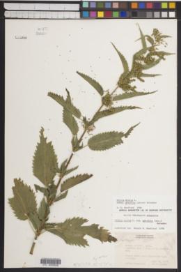 Urtica gracilis image