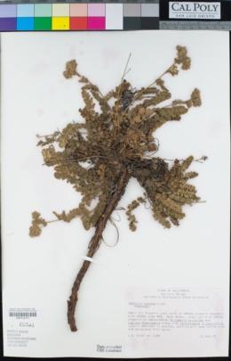 Horkelia cuneata image