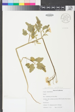 Image of Cardamine californica