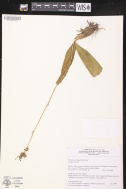 Image of Polianthes platyphylla