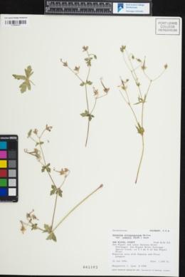 Geranium atropurpureum image