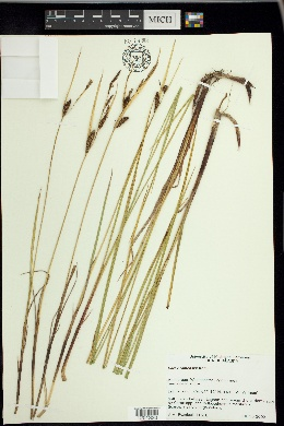 Image of Carex ramenskii