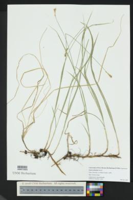 Carex siccata image