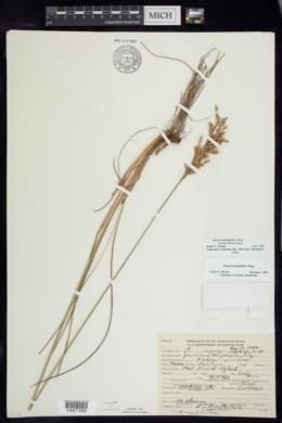 Juncus brachyphyllus image