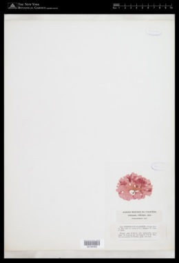 Image of Myriogramme alliacea