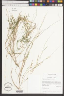 Image of Muhlenbergia himalayensis