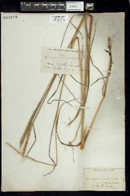 Vulpia unilateralis image