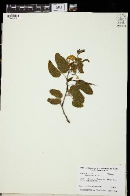 Image of Bauhinia divaricata