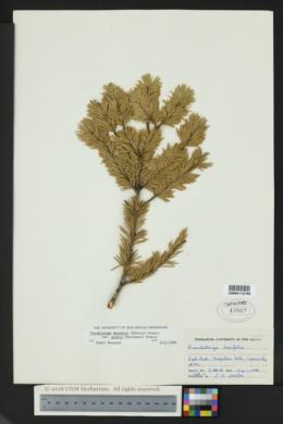 Pseudotsuga menziesii var. glauca image