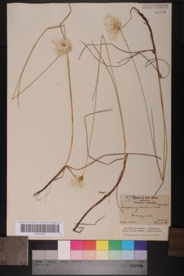 Eriophorum tenellum image