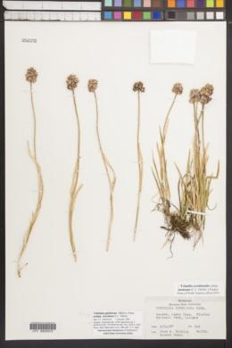 Tofieldia glutinosa subsp. montana image