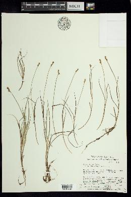 Image of Carex marina