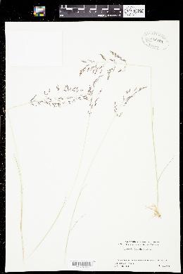 Agrostis pallens image