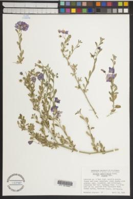 Solanum umbelliferum var. incanum image