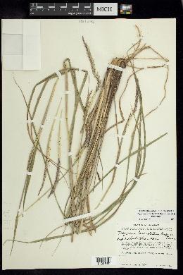 Tripsacum zopilotense image