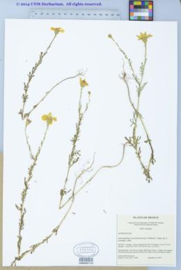 Adenophyllum porophyllum var. cancellatum image