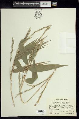 Image of Arthrostylidium excelsum