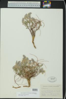 Marina calycosa image