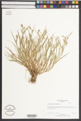 Cornucopiae cucullatum image