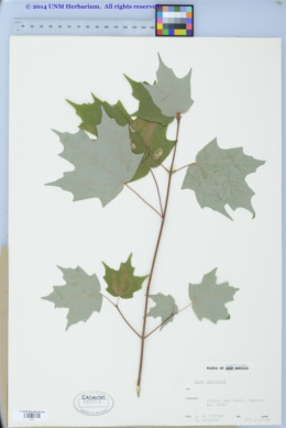 Image of Acer skutchii