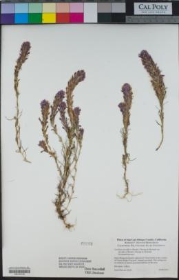 Castilleja densiflora subsp. densiflora image