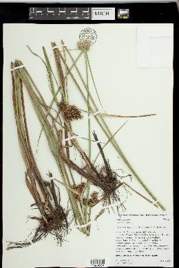 Image of Cyperus drummondii