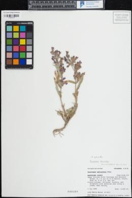 Penstemon ophianthus image