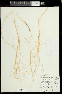 Eriocoma hymenoides image