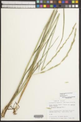 Image of Roegneria ugamica