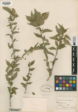 Acalypha coryloides image