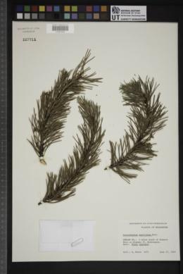 Arceuthobium americanum image