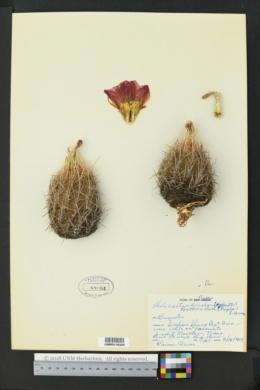Thelocactus bicolor image