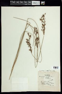 Fimbristylis thermalis image