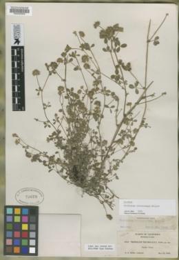 Trifolium trichocalyx image