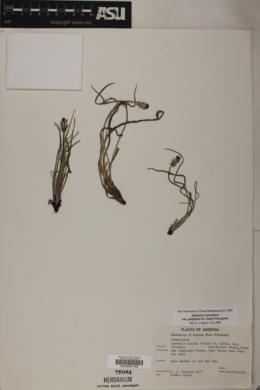 Agoseris aurantiaca var. purpurea image