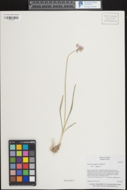 Image of Allium dictyotum
