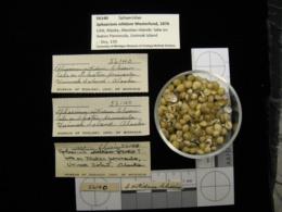 Image of Sphaerium nitidum