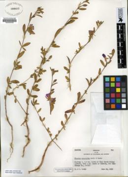 Image of Clarkia prostrata