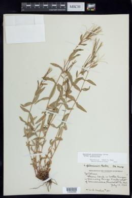 Epilobium glaberrimum image