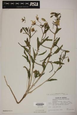 Oenothera californica subsp. arizonica image