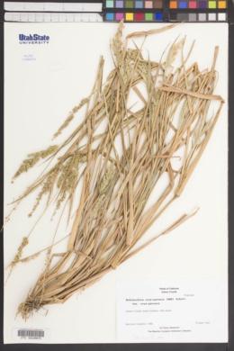 Echinochloa crus-pavonis var. crus-pavonis image